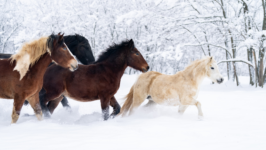 Do Horses Get Cold? How To Care For Your Horse In The Winter